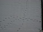 I think the ducks were lost (footprints in the snow)
