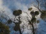 Mistletoe in trees