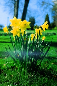 Fed2 - Daffodils