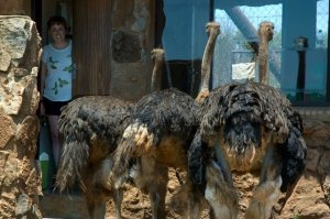 Attack Ostriches