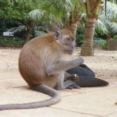 Stupid monkeys with stupid hat stolen from stupid tourist