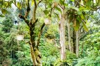 Tea Plantations in Cameron Highlands