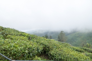 Tea Plantations in Cameron Highlands