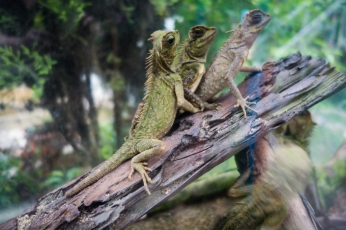 Threesome of lizards