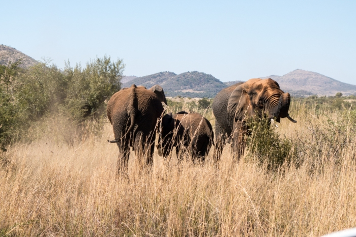 Elephants in the Pilanesberg