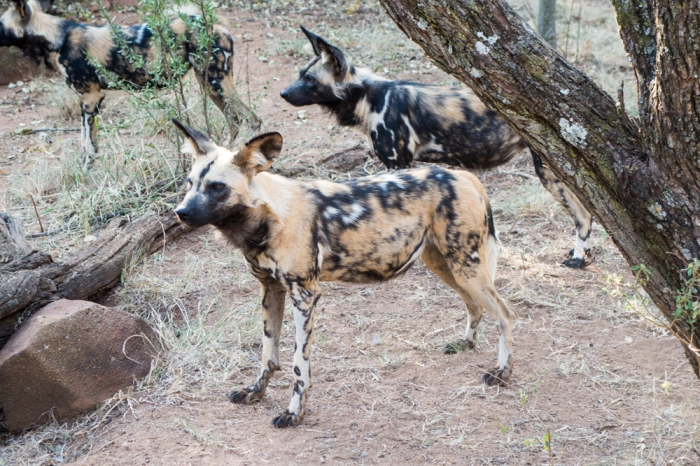 Wild Dogs at the Ann De Wildt Cheetah Sanctuary