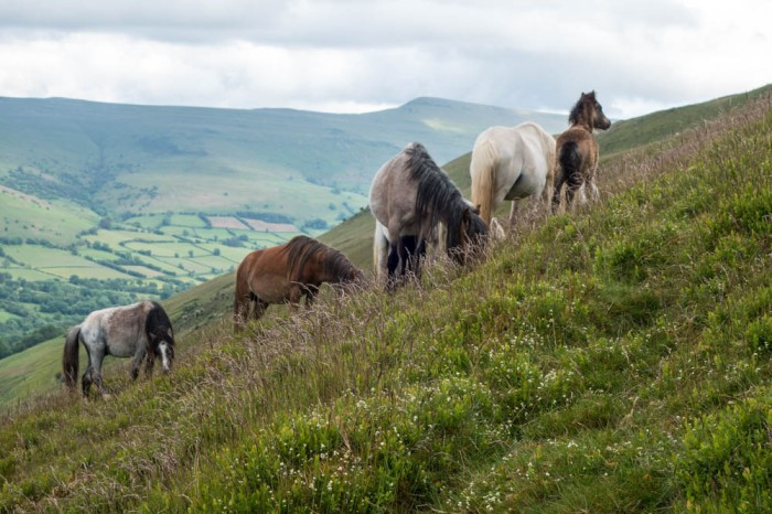 Mountain ponies in Wales