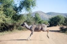 Kudu in the road in the Pilanesberg