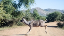 Kudu in the road in the Pilanesberg